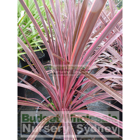 Cordyline Electric Pink Large 300mm Pots