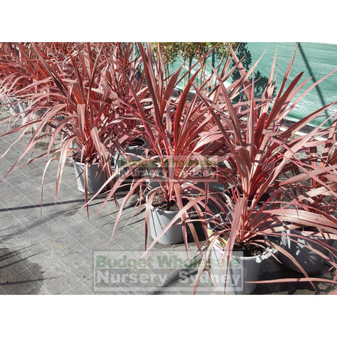 Cordyline Electric Pink Large 300Mm Pots Plants