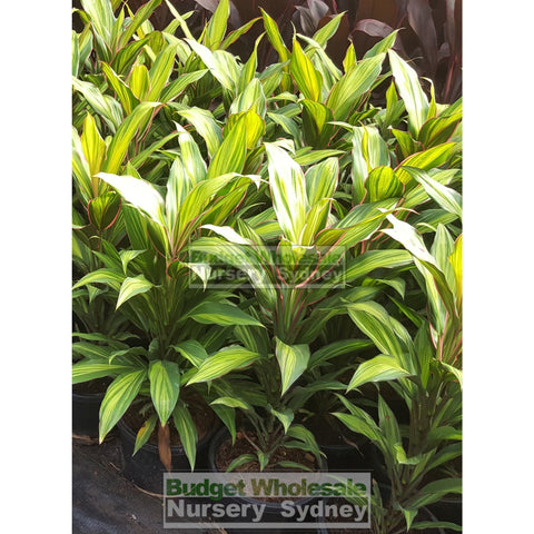 Cordyline fruticosa Kiwi 200mm