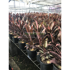 Cordyline Fruticosa Rubra 200Mm Default Type