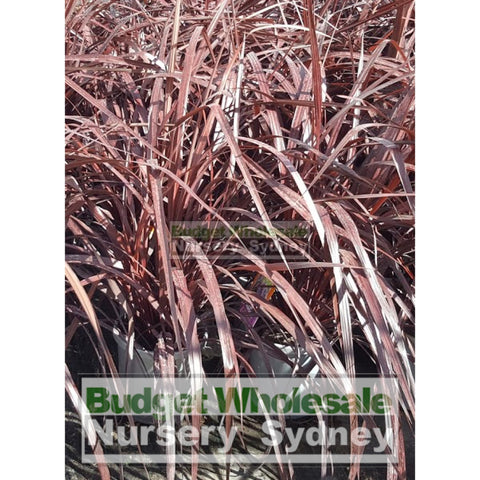 Cordyline Red Fountain 300Mm Xlarge Pot Default Type