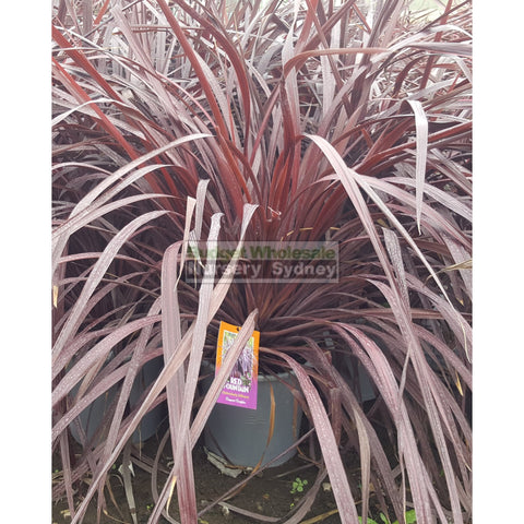 Cordyline Red Fountain 300mm XLarge POT