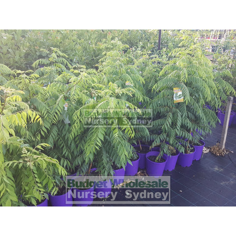 Curry Leaf Plant Murraya Koenigi (Curry) 5Ltr Default Type