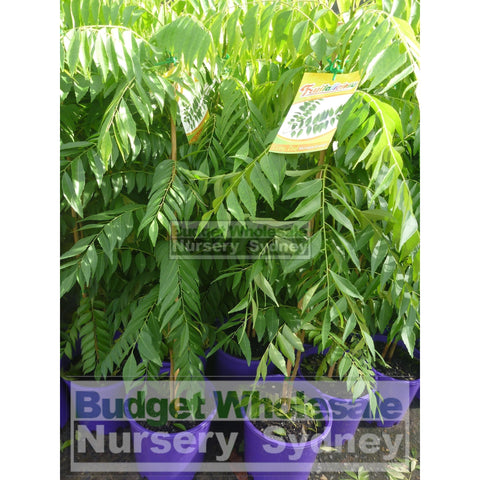 Curry Leaf Plant Murraya koenigi (Curry) 5ltr