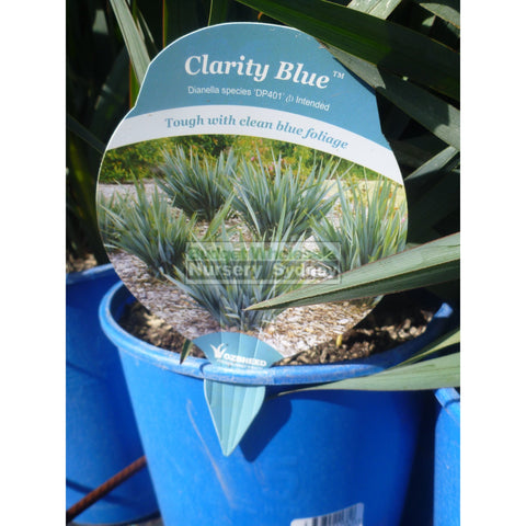 Dianella Clarity Blue (Flax Lily) 140Mm Pot Default Type
