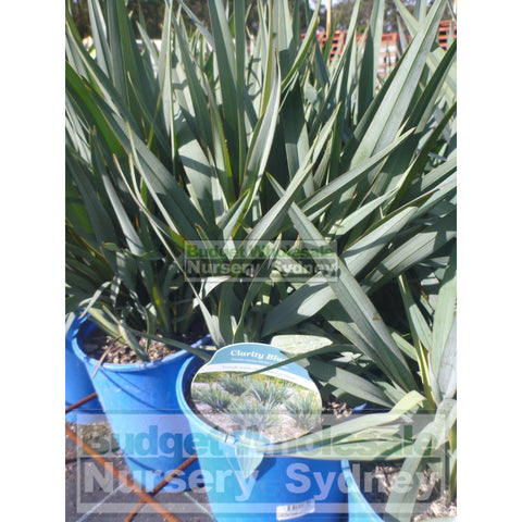 Dianella Clarity Blue (Flax Lily) Large 200Mm Pot Default Type