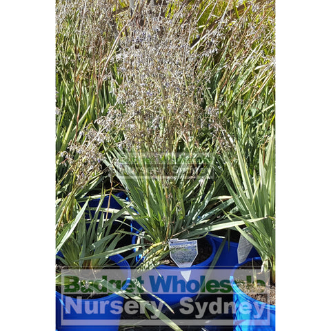 Dianella Clarity Blue (Flax Lily) Large 200mm Pot