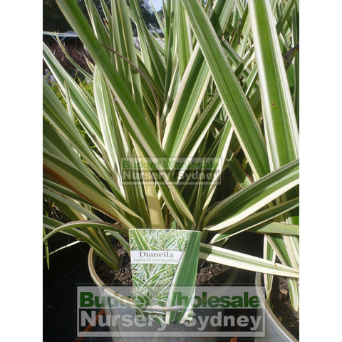 Dianella Hybrid Variegated (Flax Lily) 140Mm Default Type