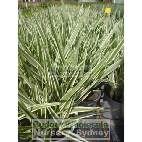 Dianella Hybrid Variegated (Flax Lily) 140mm
