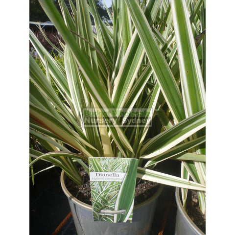 Dianella Hybrid Variegated (Flax Lily) 200mm