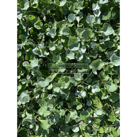 Dichondra Silver Falls 140Mm Pot Plants