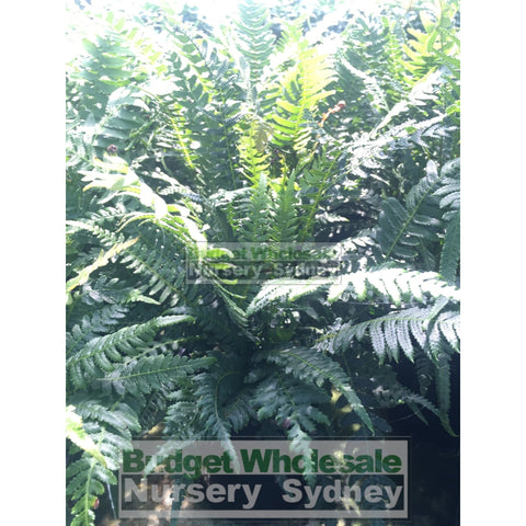 Doodia aspera 140mm Pots Prickly Rasp Fern