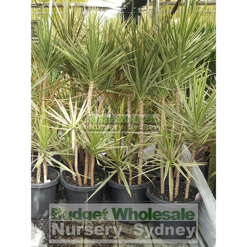 Dracaena Tricolour (Rainbow Tree) Large 300mm pot