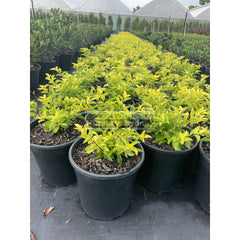 Duranta Gold 200Mm Pot Plants