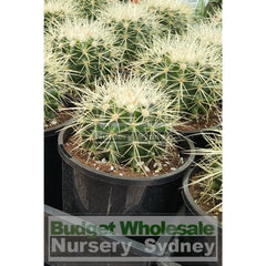 Echinocactus Grusonii (Golden Barrel) Cactus Small 140Mm Default Type