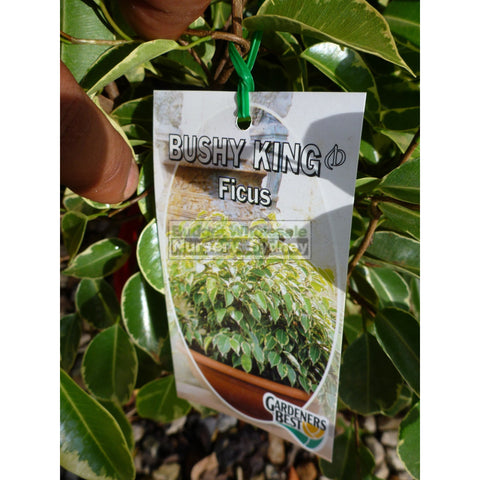 Ficus Bushy King (Bushy Fig) 175Mm Default Type