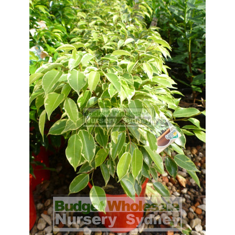 Ficus Bushy King (Bushy Fig) 175mm