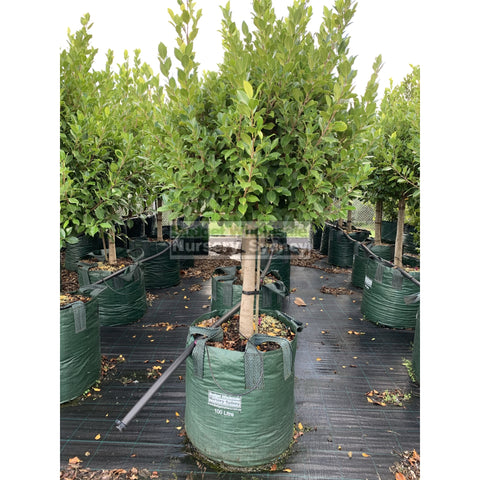 Ficus Hillii Emerald Green Standard Super Advanced 100L Pot Lollipop Plant Topiary Plant Default