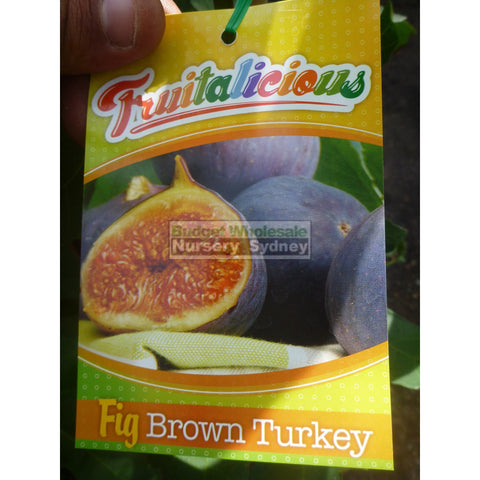 Fig Tree Ficus Carica Brown Turkey 5Ltr Default Type