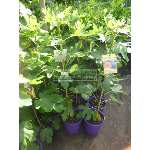 Fig Tree Ficus carica 'Brown Turkey' 5ltr