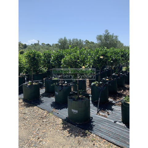 Gardenia Standards SUPER LARGE 100L Pots