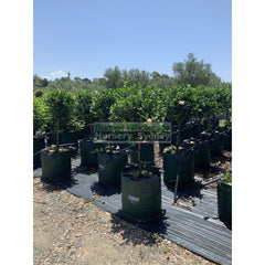 Gardenia Standards Super Large 100L Pots Default Type