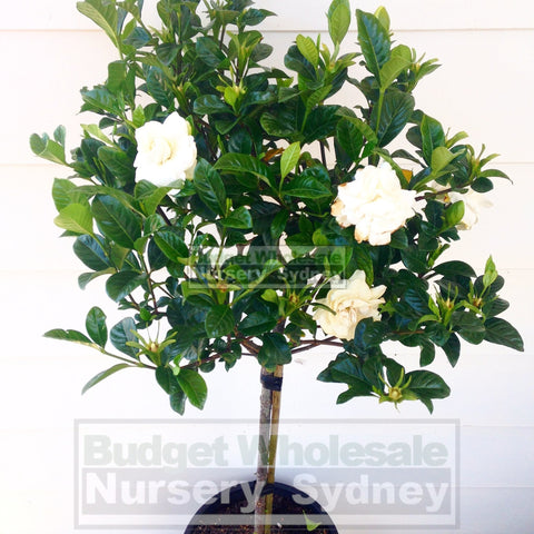 Gardenia Standards XLarge 400mm Pots