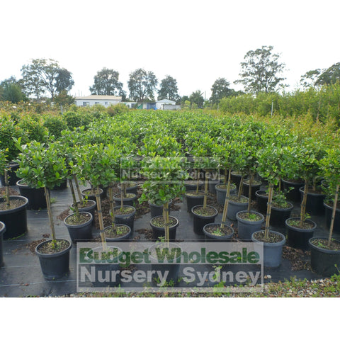 Gardenia Standards Xlarge 400Mm Pots Default Type