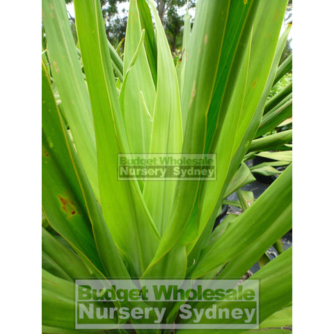 Giant Spear Lilly Large 400Mm Pot Doryanthes Palmeri Plants