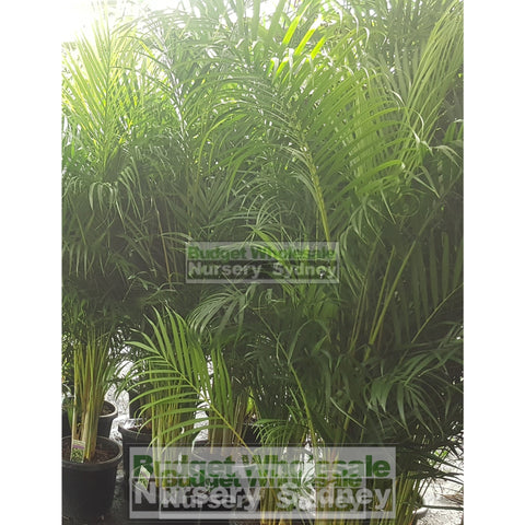 Golden Cane Palm Dypsis Lutescens Super Advanced 100L Bag Pot Default Type