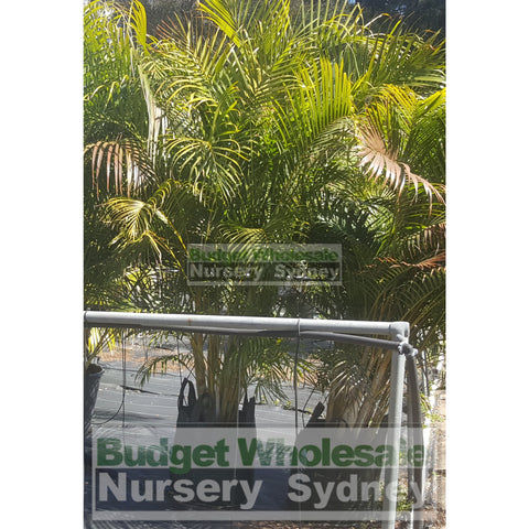 Golden Cane Palm Dypsis lutescens Super Advanced 100L Bag Pot