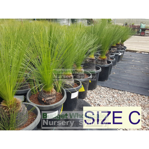 Grass Tree Xanthorrhoea Johnsonii All Sizes C (Grass Tree) 11-15Cm Trunk Plants