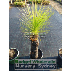 Grass Tree Xanthorrhoea Johnsonii All Sizes Plants