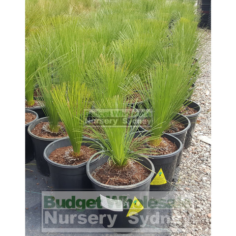Grass Tree  Xanthorrhoea johnsonii Size A - Small 250mm pot