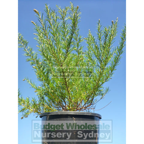 Grevillea Scarlet Sprite 200mm Pot Premium Plants Australian Native