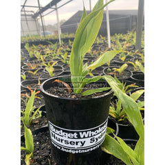 Gymea Lilly Small 140Mm Pot Doryanthes Excelsa Plants