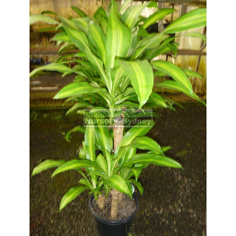 Happy Plant Dracaena Fragrans Massangeana Xxl 400Mm Pot Default Type