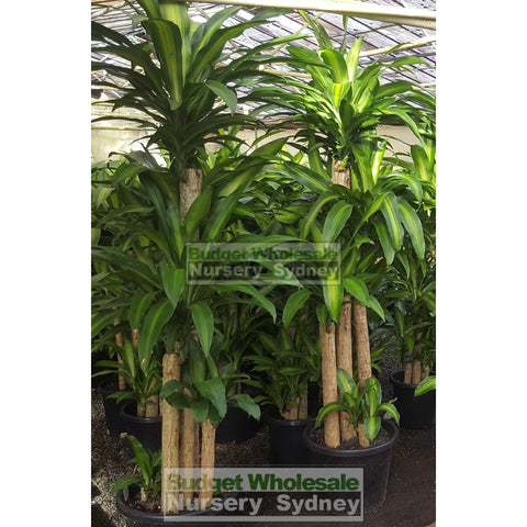 Happy Plant Dracaena fragrans massangeana XXL 400mm pot