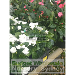 Impatiens Sonic Patio Jewel 125Mm Mixed Colours Only Default Type