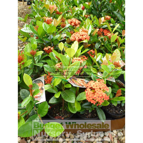 Ixora Chinensis Coral Fire 140Mm Default Type