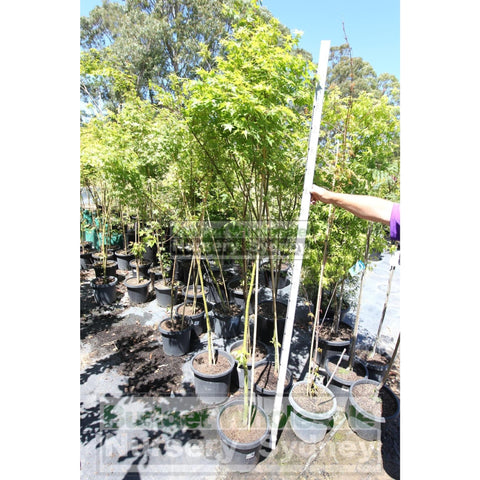 Japanese Maple Acer Palmatum Xlarge 45Lt/ 400Mm Plants