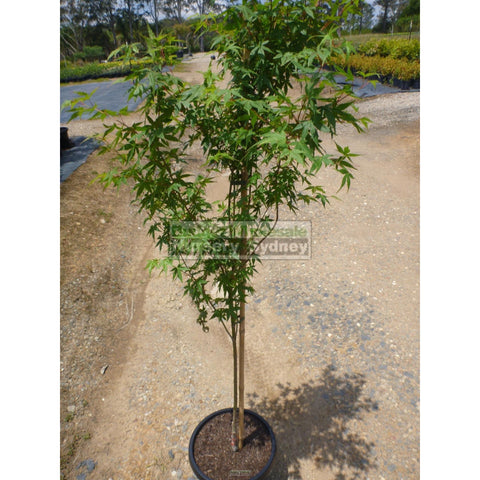 Japanese Maple Acer Palmatum XLARGE 45LT/ 400mm