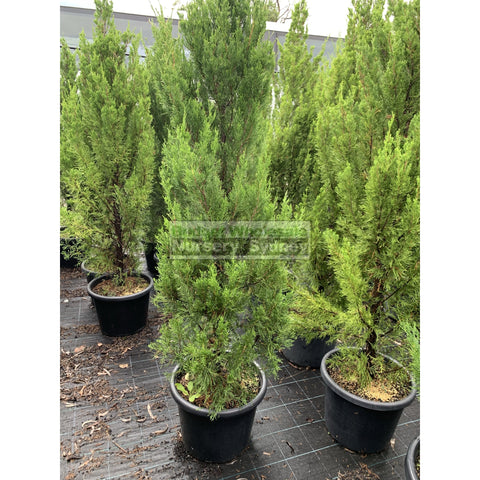 Juniperus Spartan Extra Large 400Mm Pot Plants