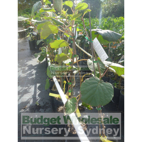 Kiwi Fruit Male Actinidia Sinensis 5ltr Grafted