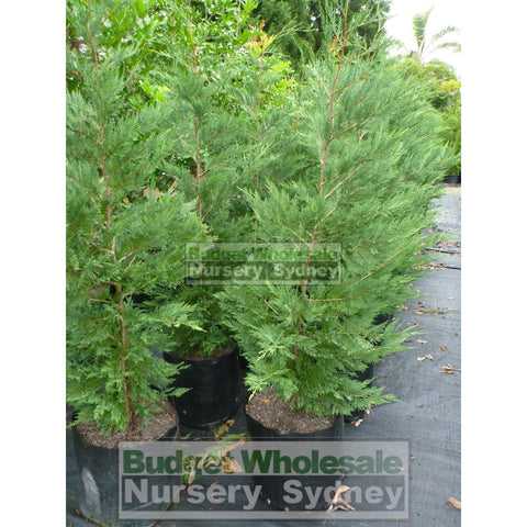 Leightons Green Conifer Super Large 150L Bag Plants