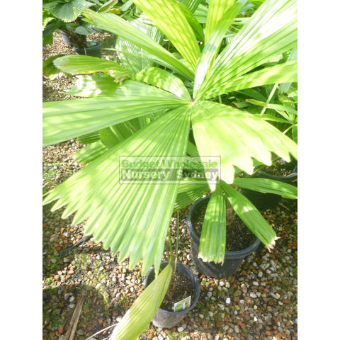 Licuala ramsayi (Australian Fan Palm) 200mm
