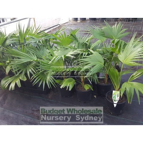 Livistona Chinensis (Chinese Fan Palm) 200Mm Pot Default Type