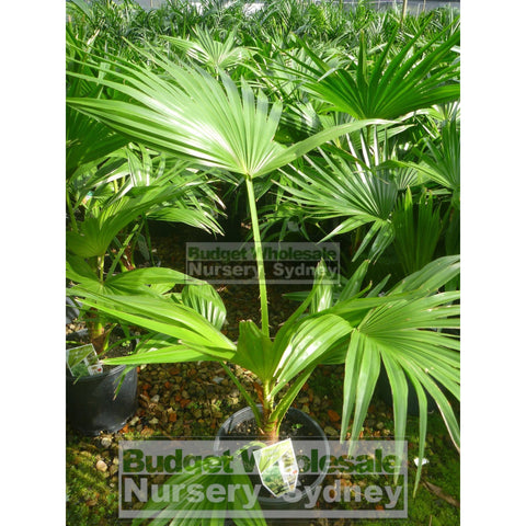 Livistona chinensis (Chinese Fan Palm) 200mm Pot