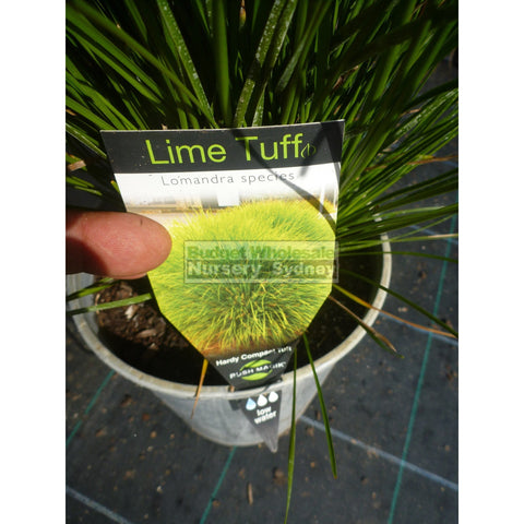 Lomandra Lime Tuff 200Mm Pots Default Type