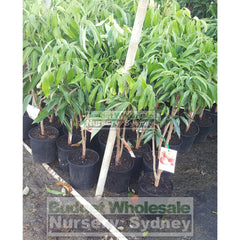 Lychee Plant Small 165Mm Pot Edible Fruit Default Type